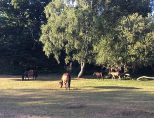 New Forest Ponies grazing by the roadside at sunset.