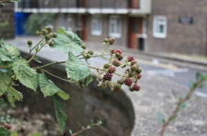Blackberries framed by housing estate