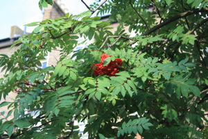 Red berries fruiting on tree