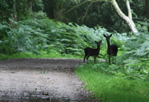 Doe and Fawn, poised to run, standing on grass verge