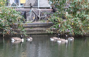 Flock of geese on canal, in front of bike and buildings.