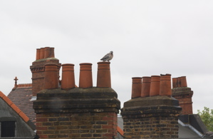 Pigeon sitting on red brick chimney