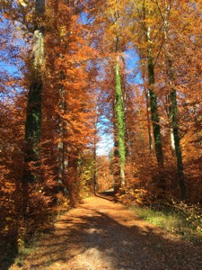 Beech trees in autumn colours framing a woodland path