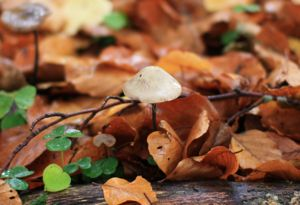 Small white mushroom growing out the top of a rotting log in fallen Beech leaves