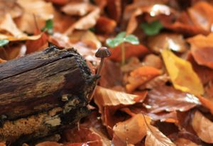 Tiny brown mushroom growing out the side of a rotting log backed by Beech leaves