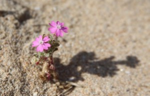 Tiny pink flowers growing in sand